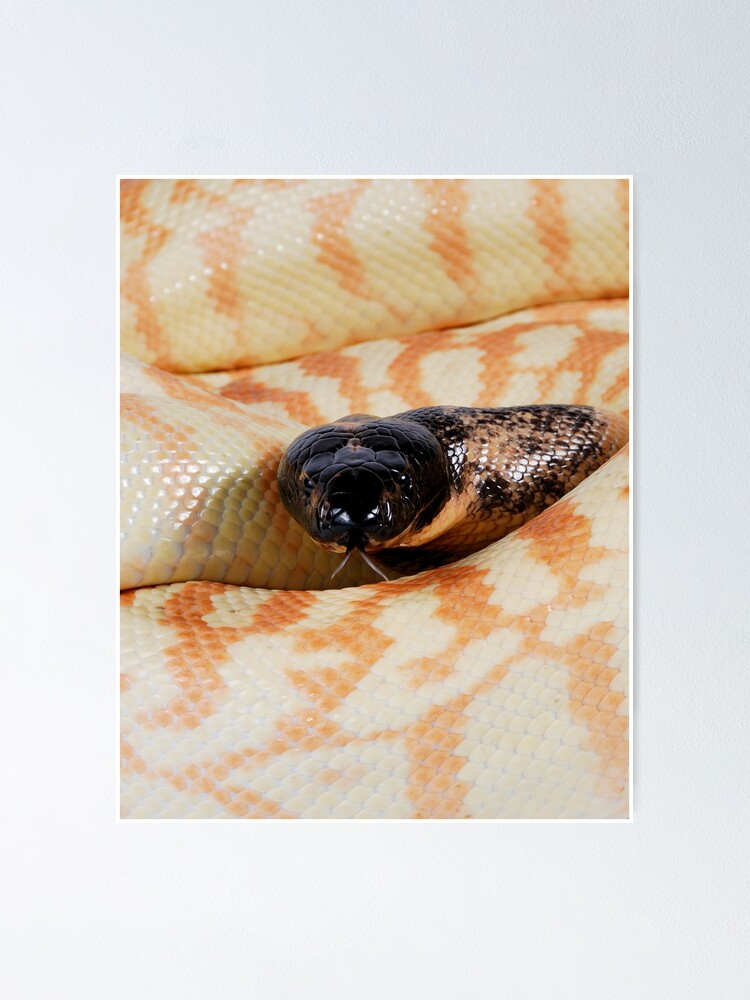 Alternate view of Black-headed Python (Aspidites melanocephalus) Poster