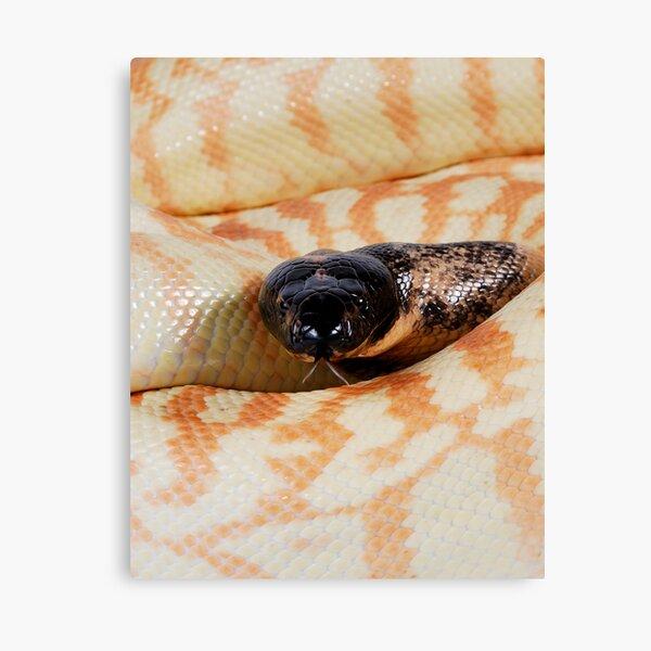 Black-headed Python (Aspidites melanocephalus) Canvas Print