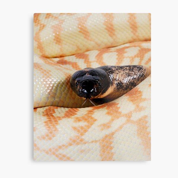 Black-headed Python (Aspidites melanocephalus) Metal Print
