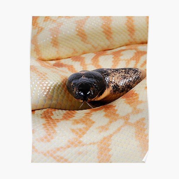 Black-headed Python (Aspidites melanocephalus) Poster
