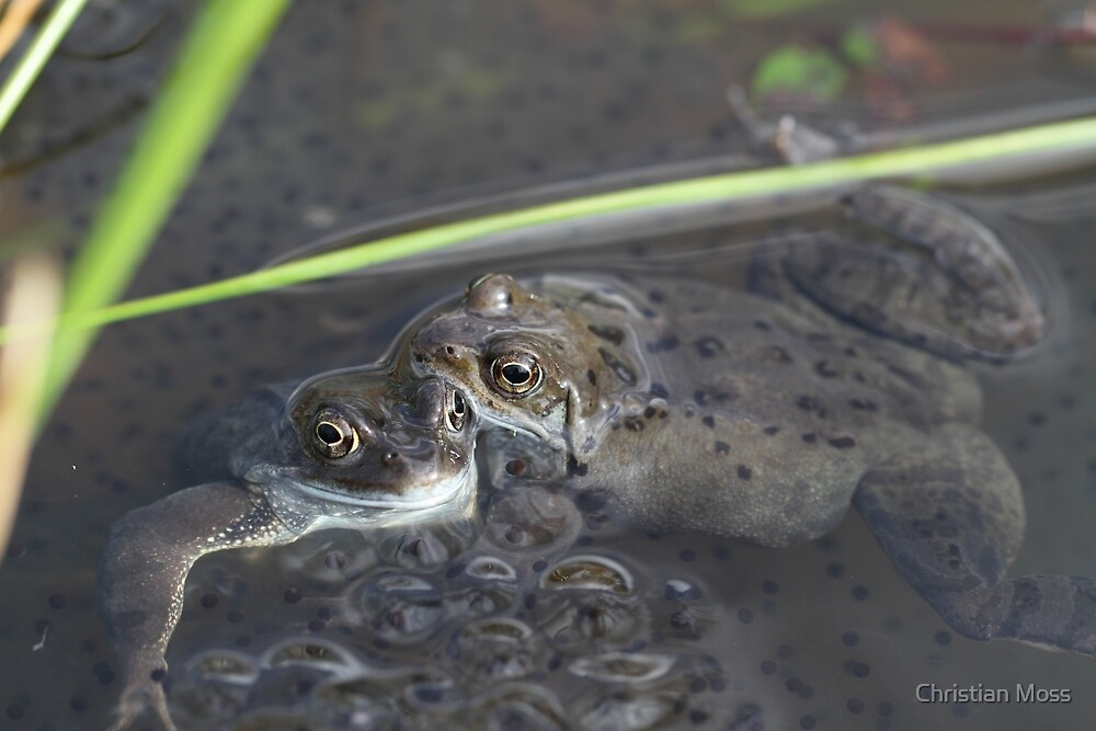 Common Frogs & frog spawn - Rana temporaria by Chrismoss