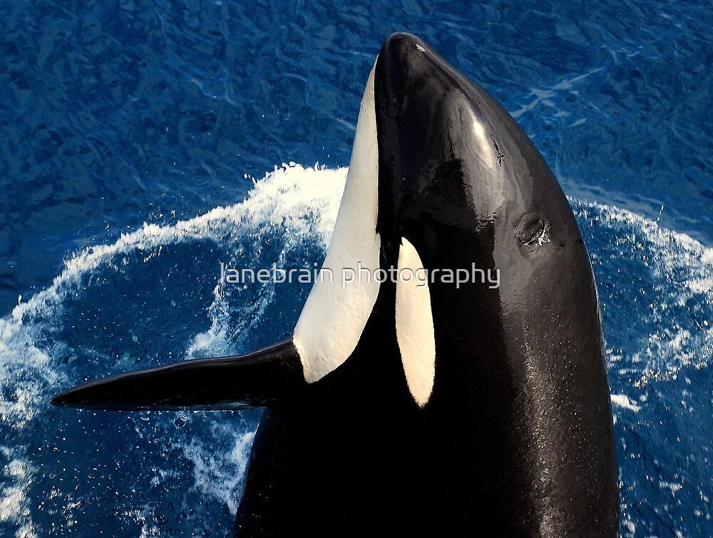 Killer Whale #10 by lanebrain photography
