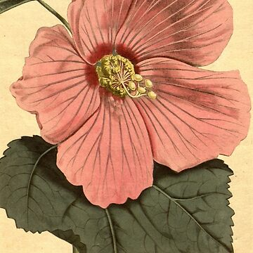 Vintage Illustration of a Hibiscus Flower (1806) by BravuraMedia
