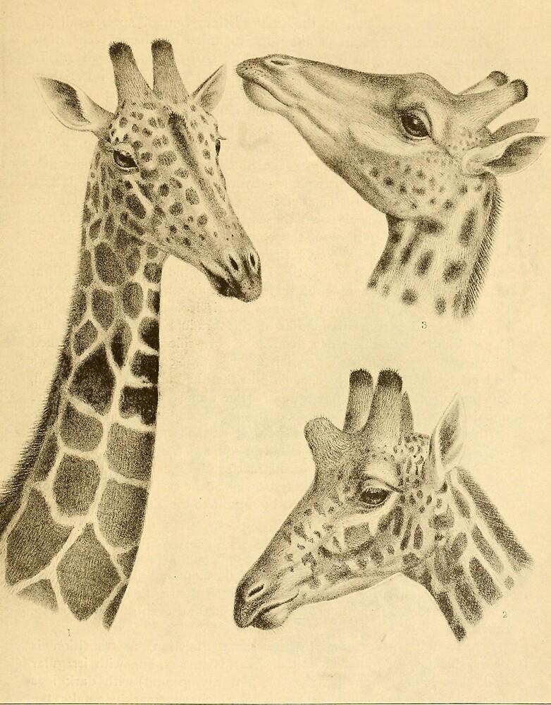 Vintage Illustration of a Giraffe (1908) by BravuraMedia