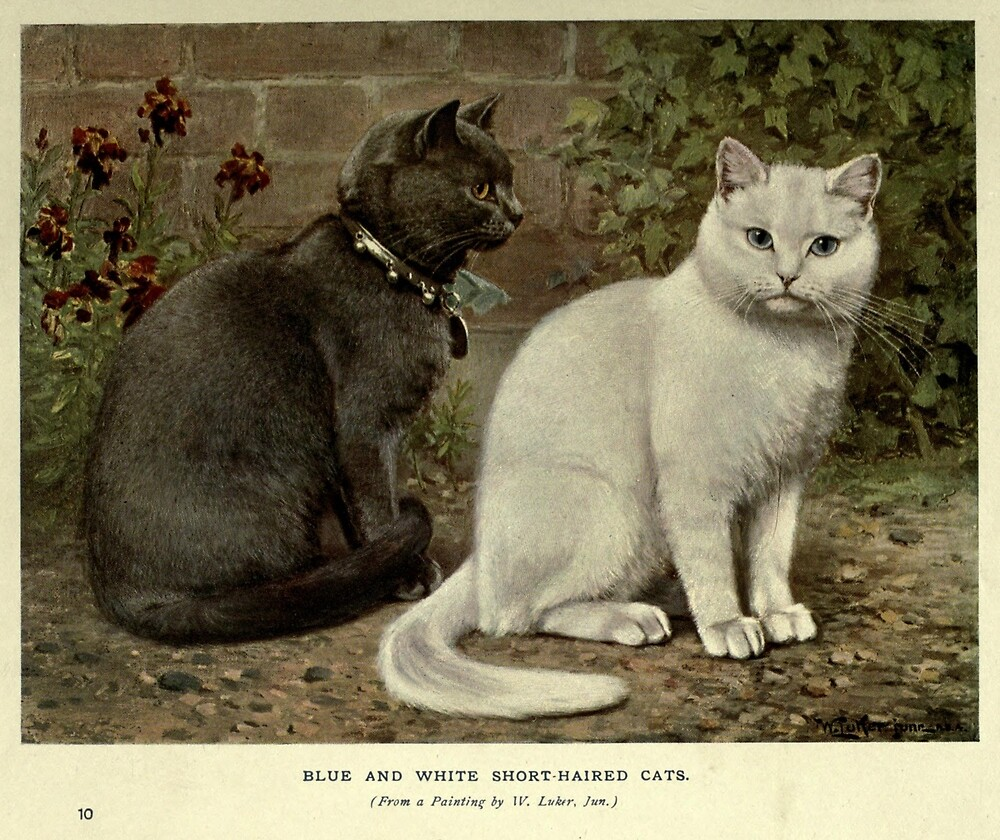 Vintage Grey & White Short-Haired Cat Painting (1902) by BravuraMedia