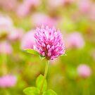 Pink clover by Arve Bettum