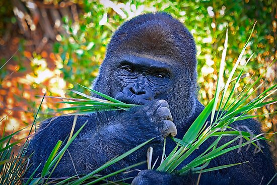 Gorilla Looking Right At Me by TJ Baccari Photography