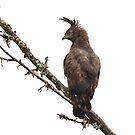 Eagle Encounter by Macky