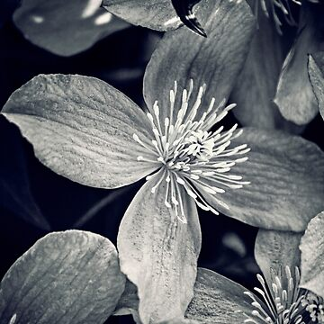 Clematis in Monochrome by InspiraImage