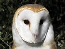 Barn Owl ~ Close-Up by Kimberly Chadwick