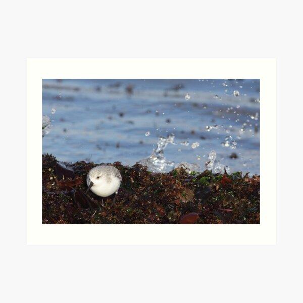 Splash (Sanderling) Art Print
