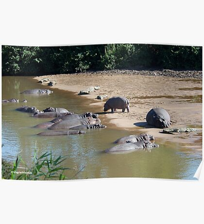 LIVING IN HARMONEY - THE NILE CROCODILE - Crocodylus niloticus AND THE HIPPO - Hippopotamus amphibious   -   SEEKOEI Poster