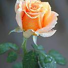 Spring Rose by Chet  King