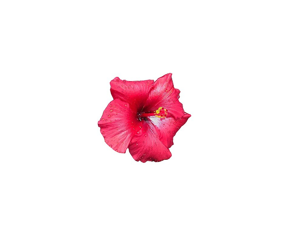Hibiscus  by melissacampny