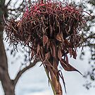 Gymea Lily Doryanthes excelsa at end of Ramp Leith Park Victoria 20171204 1830  by Fred Mitchell