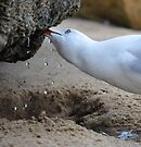 Thirsty Gull by annibels