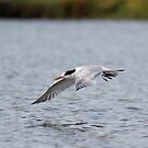 Gliding Tern by eyes4nature