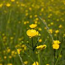 Isolated Buttercup in foreground with diffused background of Buttercup meadow  by Rod Raglin
