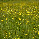 Buttercups in foreground with Buttercup Meadow background fading to infinity by Rod Raglin