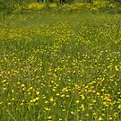 Buttercup Meadow blowing in the Summer Breeze - background by Rod Raglin