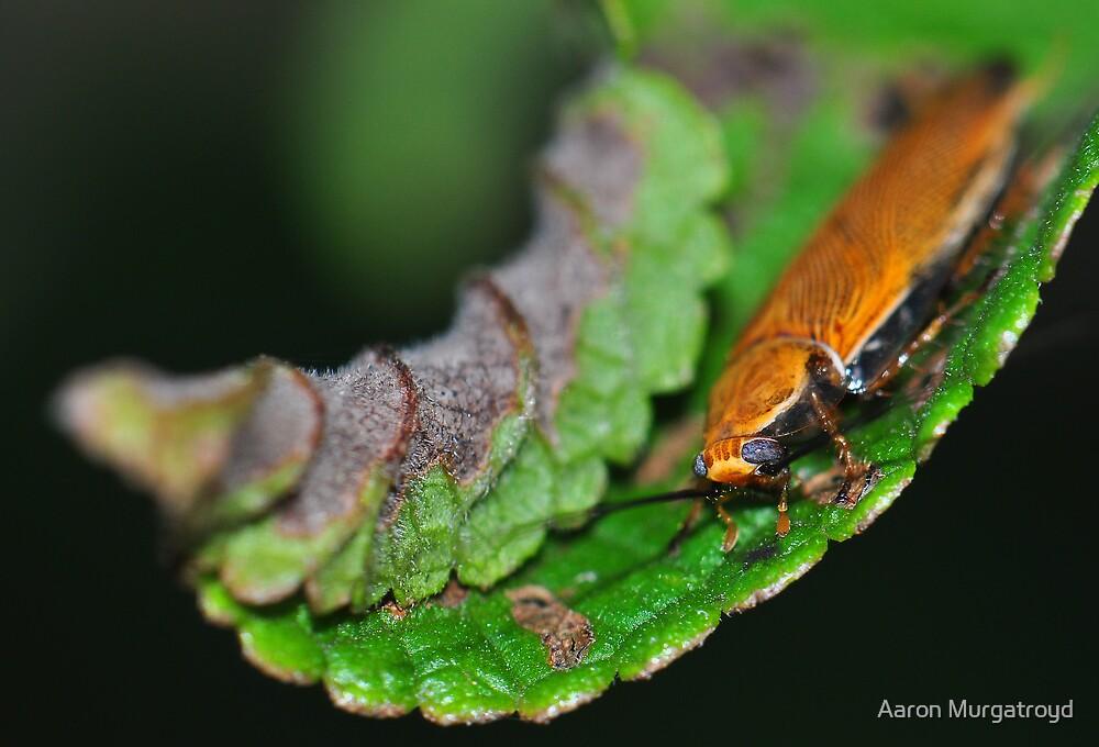 Ellipsidion Cockroach by Aaron Murgatroyd