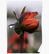 Dahlia in Autumn Poster