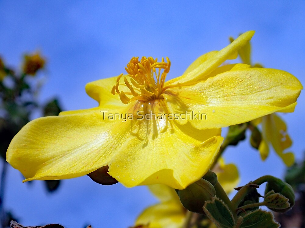 Cochlospermum sp., on the way to Parry Lagoons Nature Reserve, Western Australia by CraftyTiger