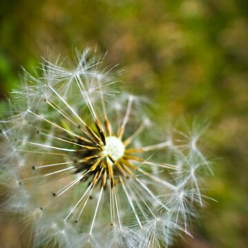 dandelion by Maggierda