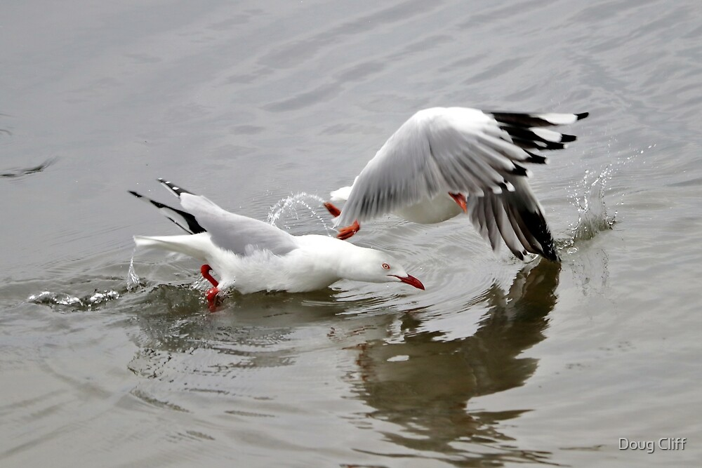 Seagulls fighting by Doug Cliff