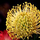 Math in nature - a yellow protea by bubblehex08