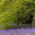 Bluebells nestle under a beech tree in the English Springtime  by Wendy  McDonnell