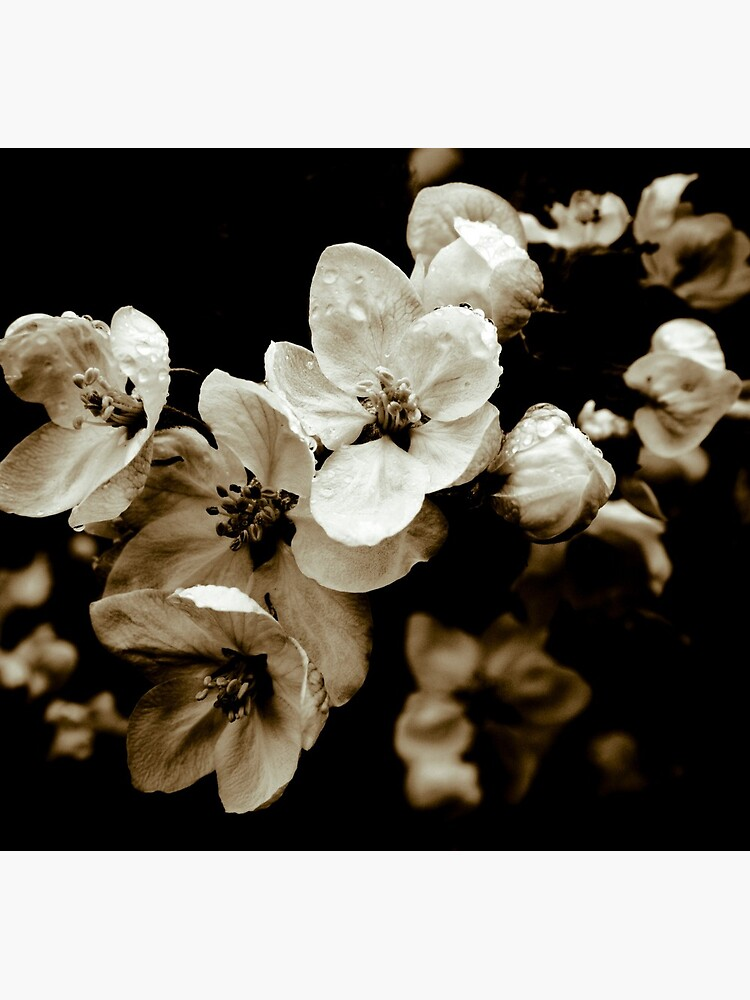 Apple Blossom by gardenpictures