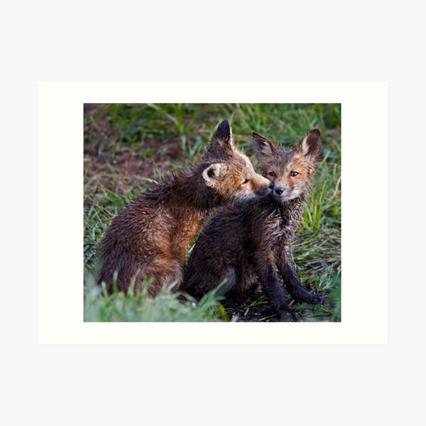 Fox Kits Drenched and Nuzzling Art Print