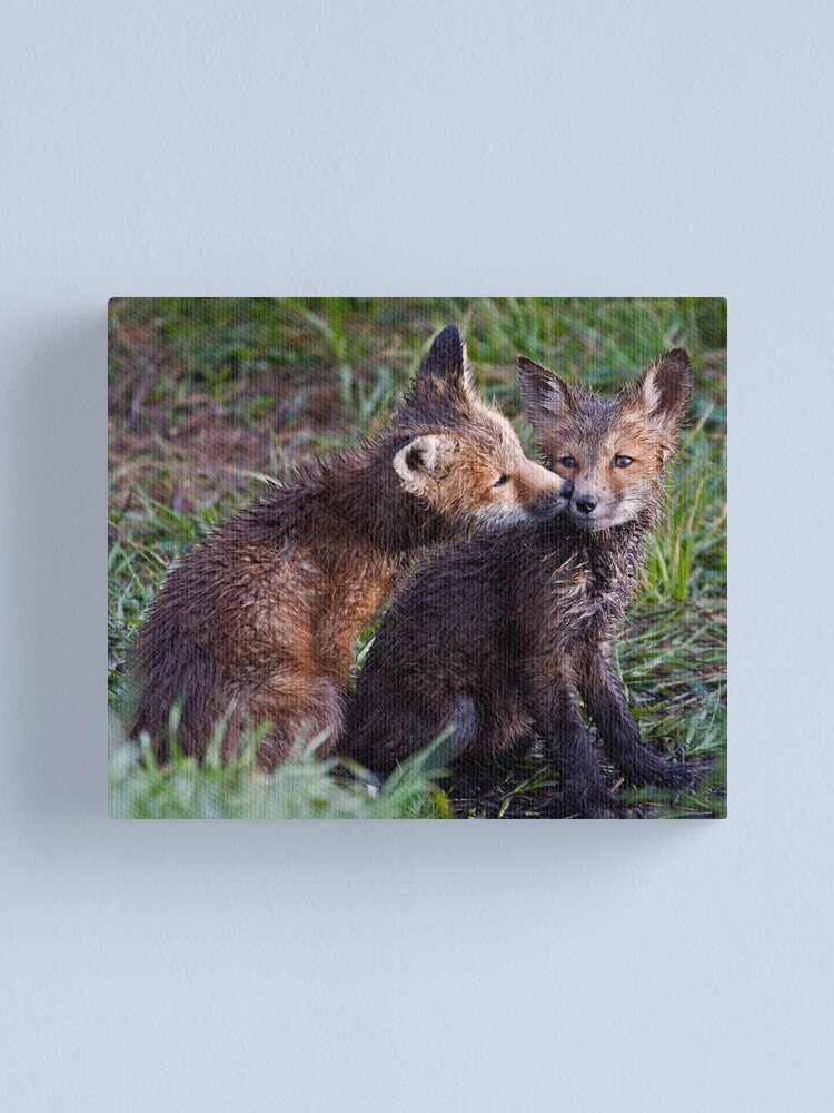 Alternate view of Fox Kits Drenched and Nuzzling Canvas Print