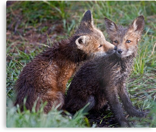 Fox Kits Drenched and Nuzzling by A.M. Ruttle