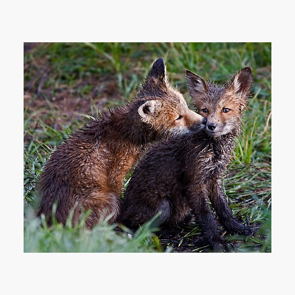 Fox Kits Drenched and Nuzzling Photographic Print