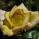 Yellow Rose of Arizona by George I. Davidson
