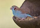 Red-cheeked Cordon Bleu by David Clarke