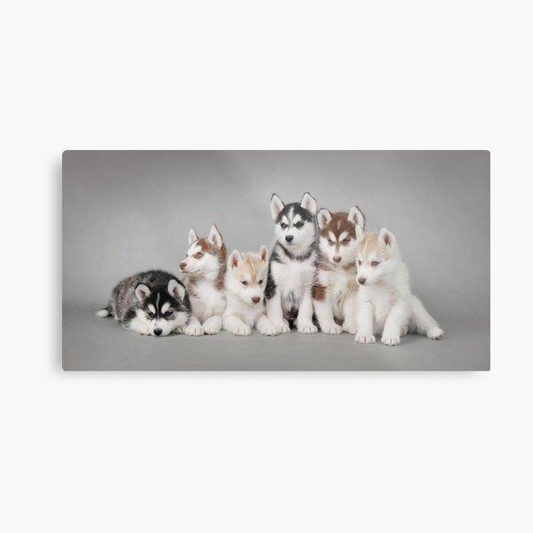 Six husky puppies Metal Print
