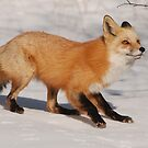 Fox in snow by Eivor Kuchta