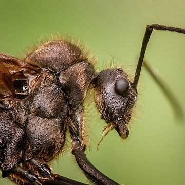 Hairy Ant by lollly