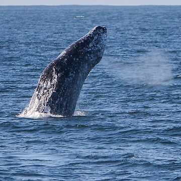 Gray Whale by Tonywallbank
