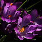 Purple Crocus by AnnDixon