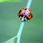 Little Ladybird Beetle by sienebrowne