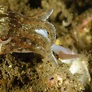 Mourning Cuttlefish With Prey by Andrew Trevor-Jones