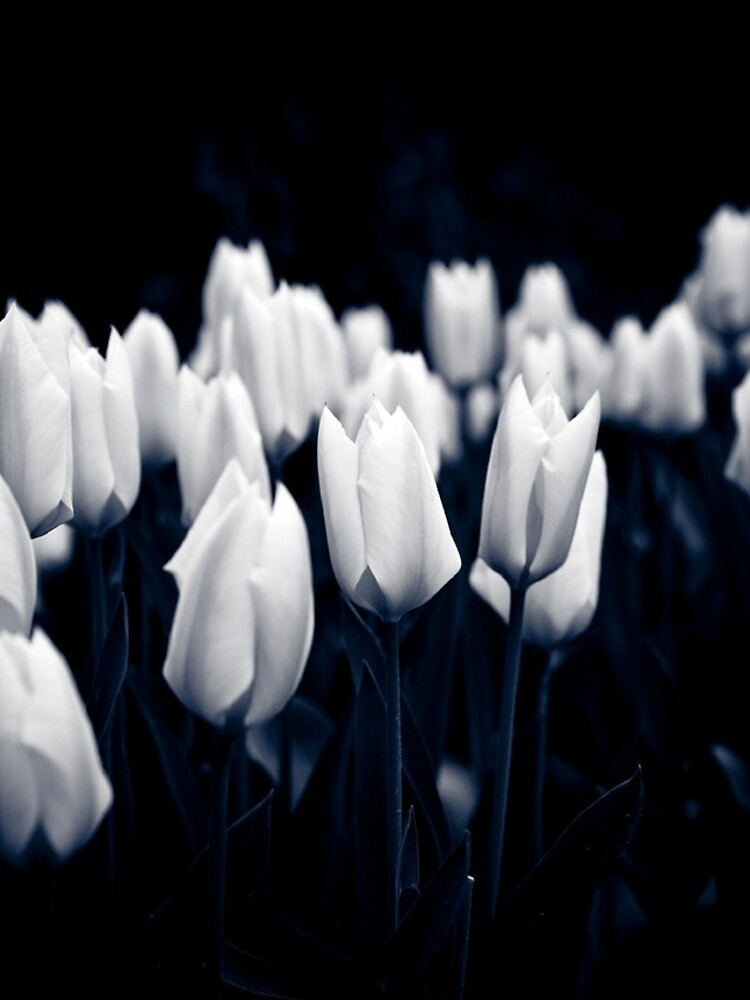 Monochrome Tulips by gardenpictures