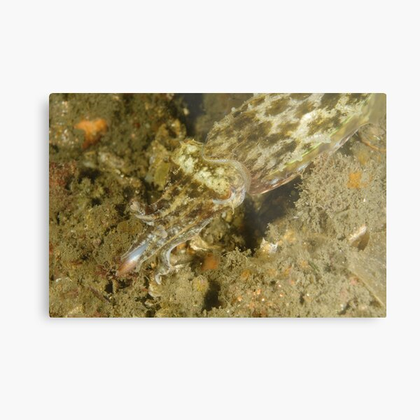 Hunting Mourning Cuttlefish Metal Print