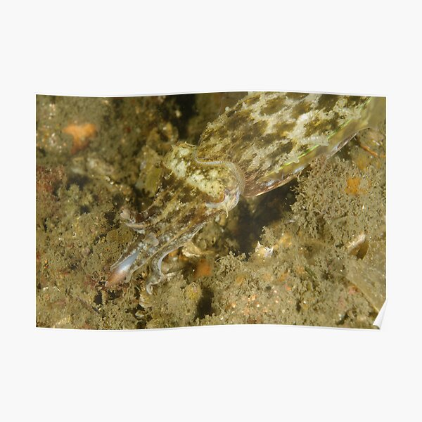 Hunting Mourning Cuttlefish Poster