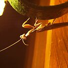 praying mantis by jeroenvanveen