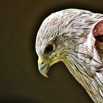 Red Kite by raytylerimages
